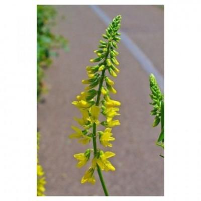 Trevo Amarelo 1kg - Mellilotus Officinalis