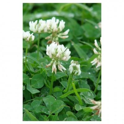 Trevo Vivaz Branco 1kg - Trifolium Repens