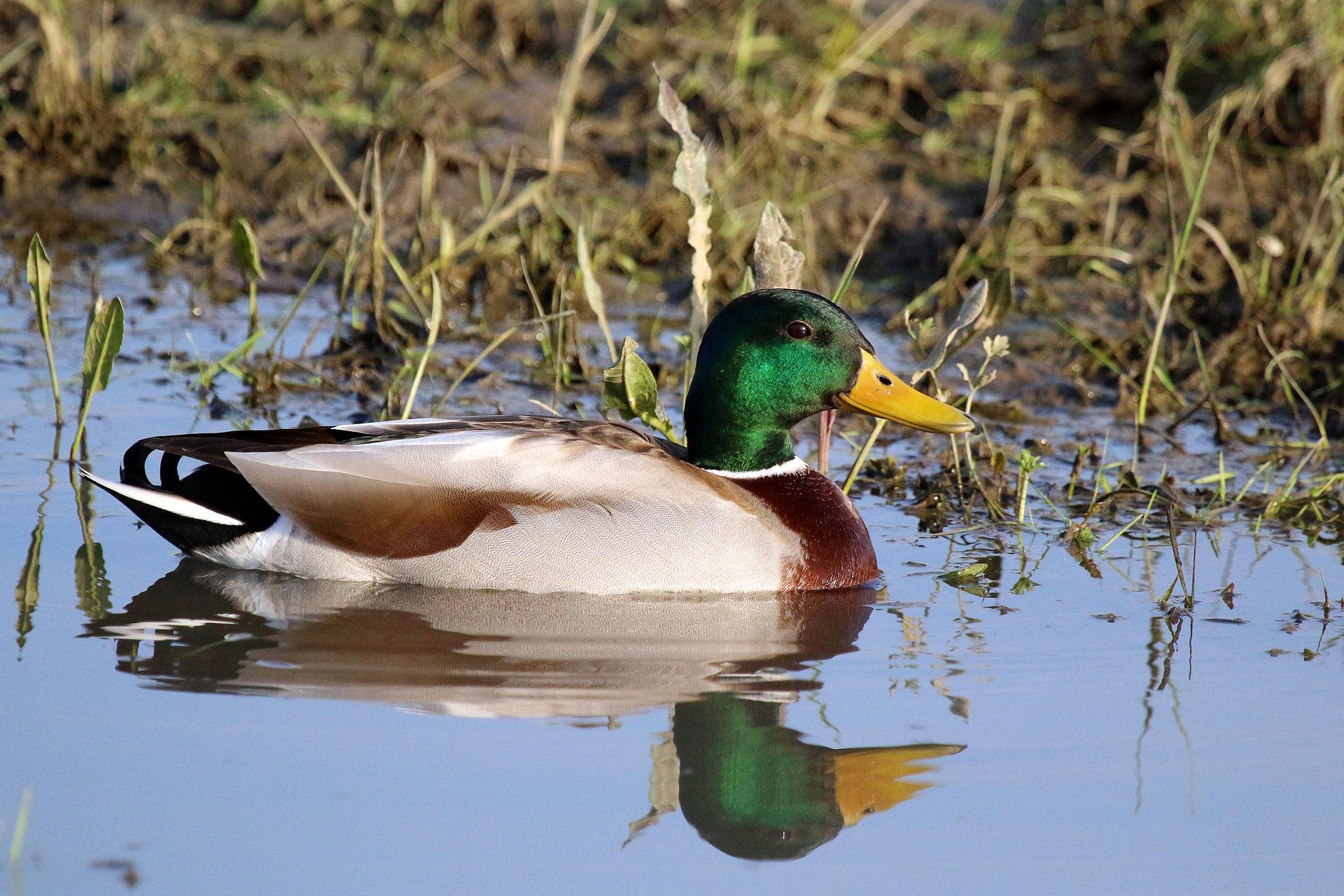 Pato-Real | Chamamento de Aves