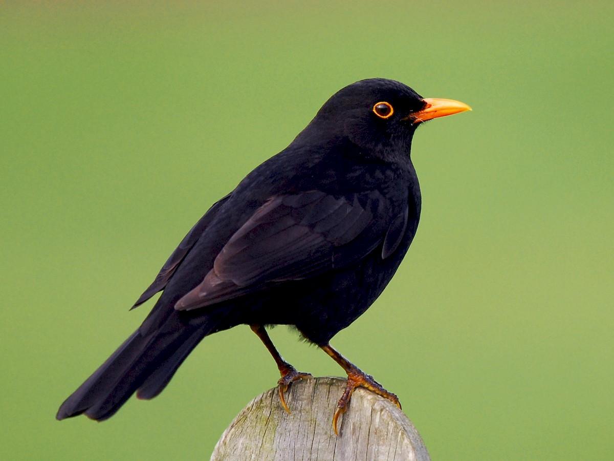 Melro | Chamamento de Aves