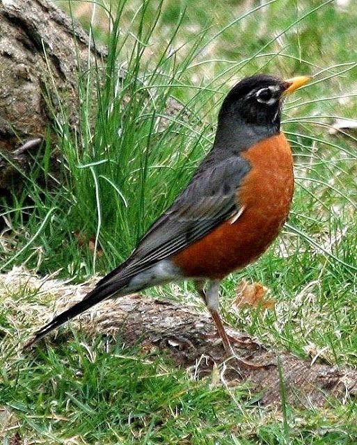 Tordo-americano | Chamamento de Aves