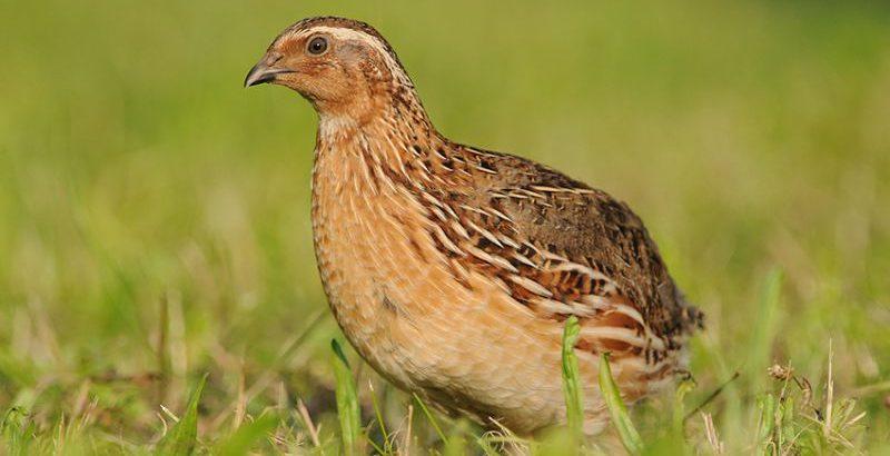 Codorniz | Chamamento de Aves