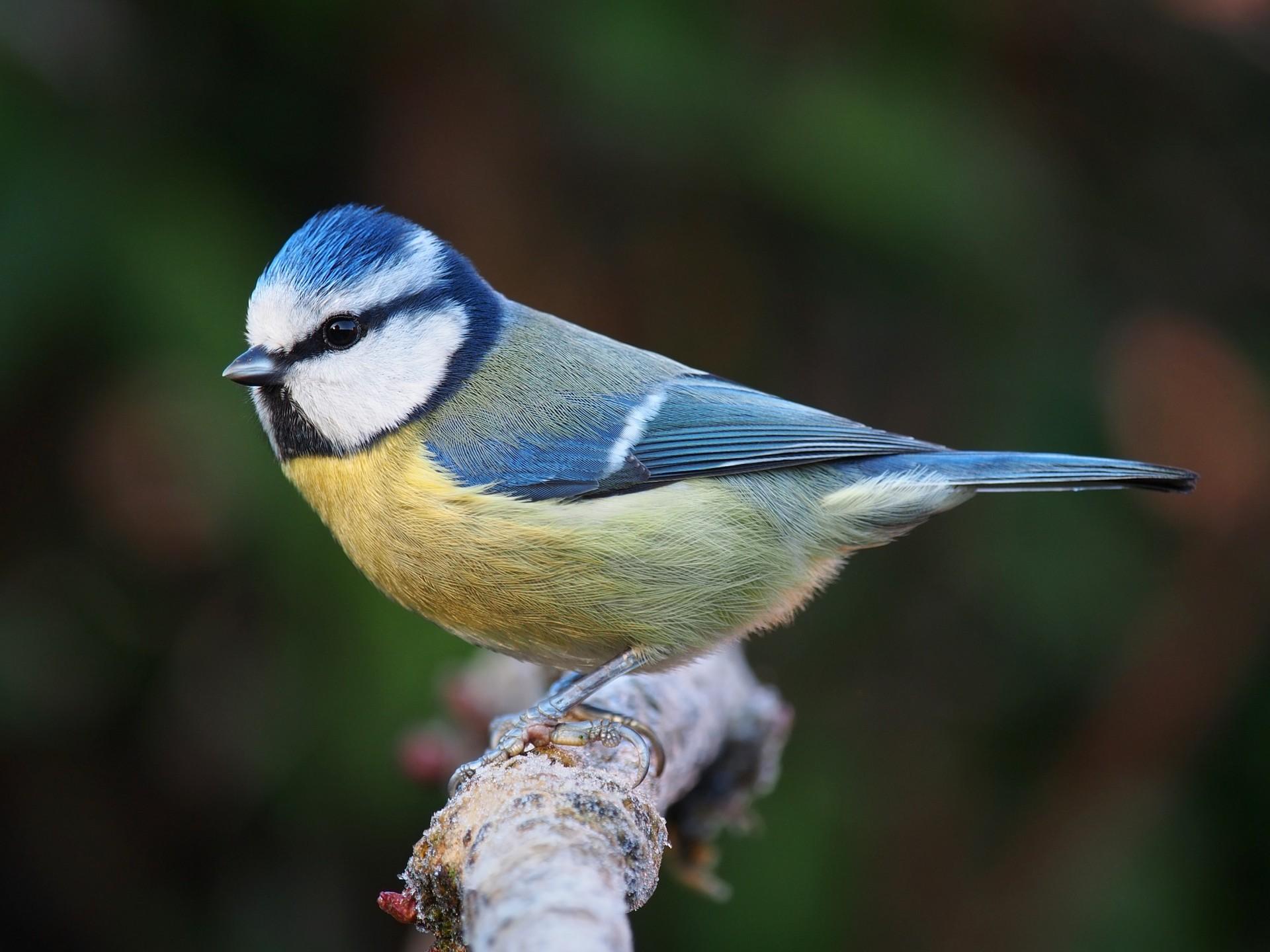 Chapim Azul | Chamamento de Aves