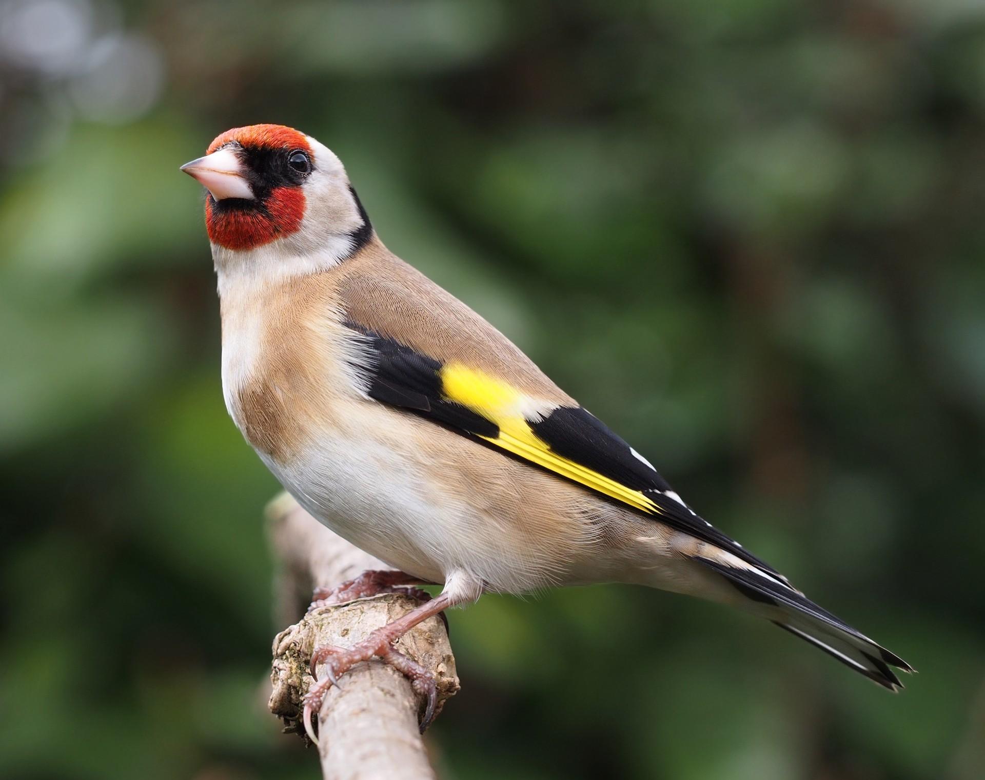 Pintassilgo | Chamamento de Aves