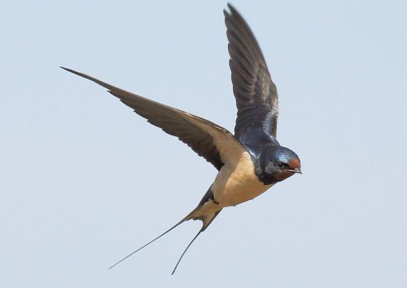 Andorinha | Chamamento de Aves