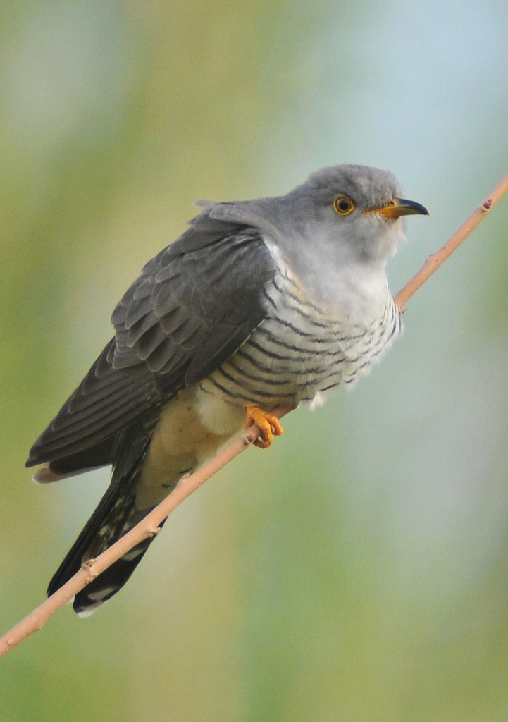 Cuco | Chamamento de Aves