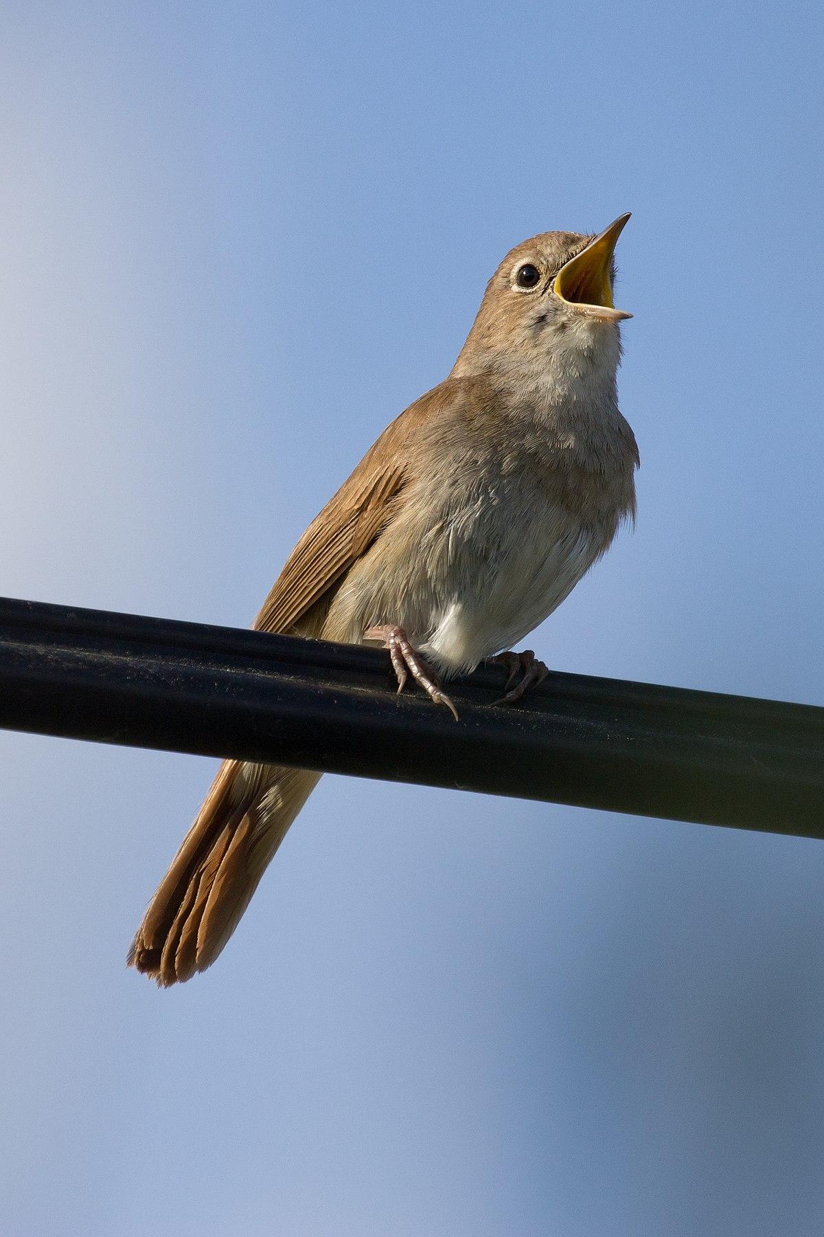 Rouxinol | Chamamento de Aves