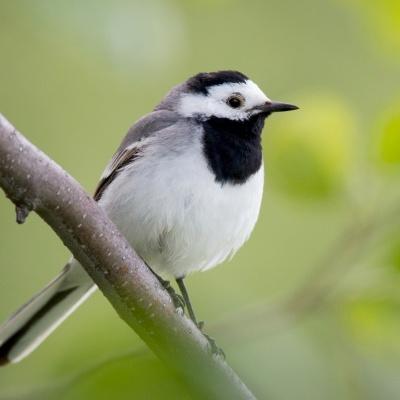 Alvéola Amarela e Branca | Chamamento de Aves