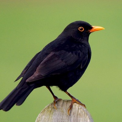 Melro   Chamamento de Aves