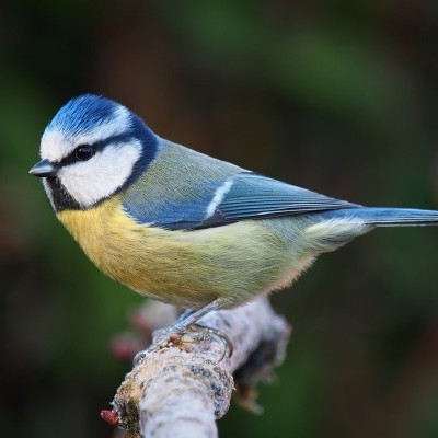 Chapim Azul   Chamamento de Aves