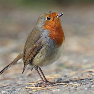 Pisco de Peito Ruivo | Chamamento de Aves