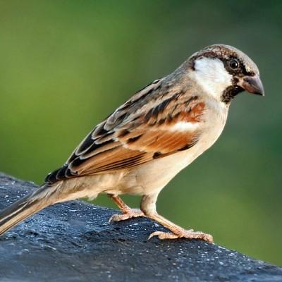 Pardal | Chamamento de Aves
