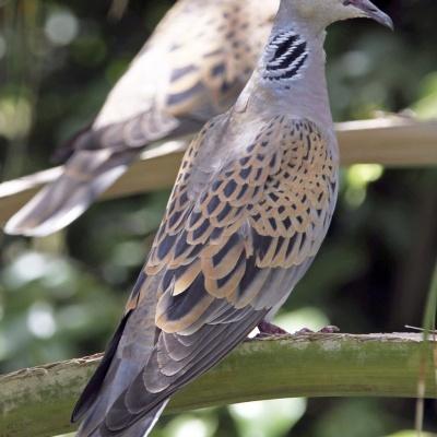 Rola Comum | Chamamento de Aves