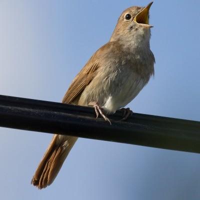 Rouxinol   Chamamento de Aves