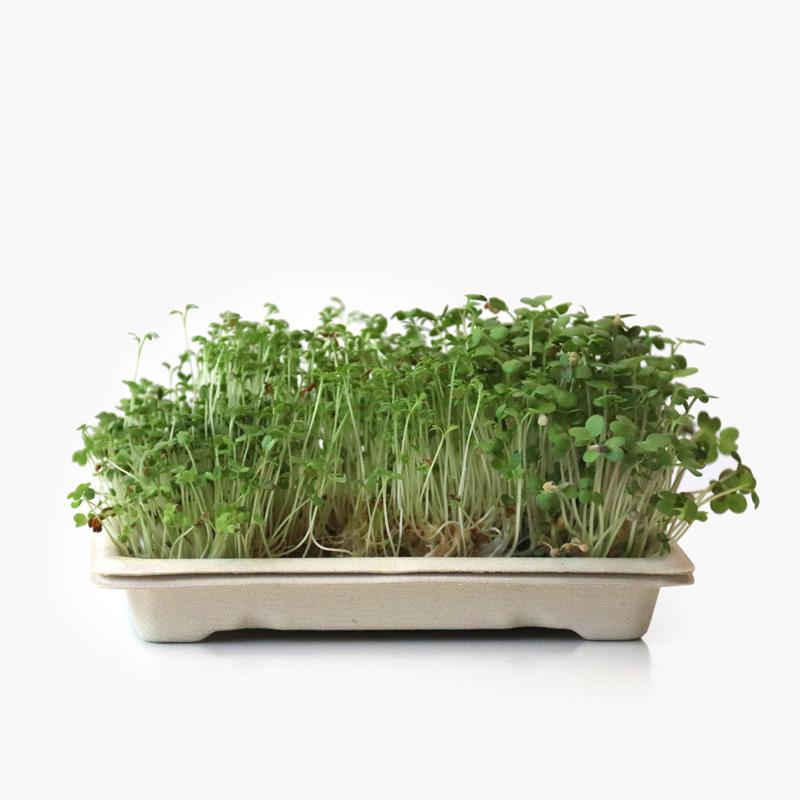 Kit Microgreens SPICY