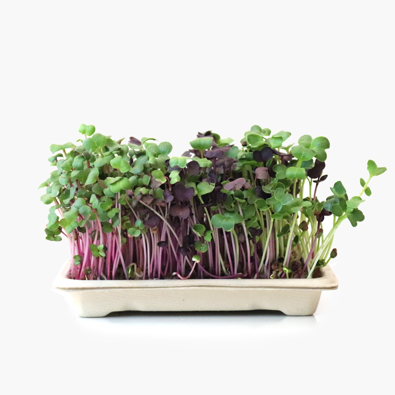 Kit Microgreens DAIKON