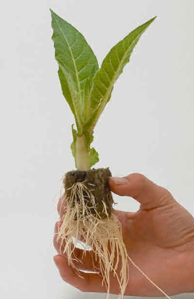 Root Riot™ Organic Plant Starter - 100 unidades