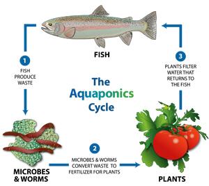 aquaponia ciclo