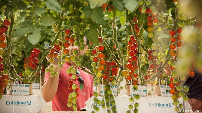 hidroponía tomate