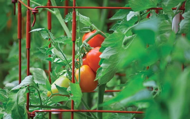 tomates hidroponia