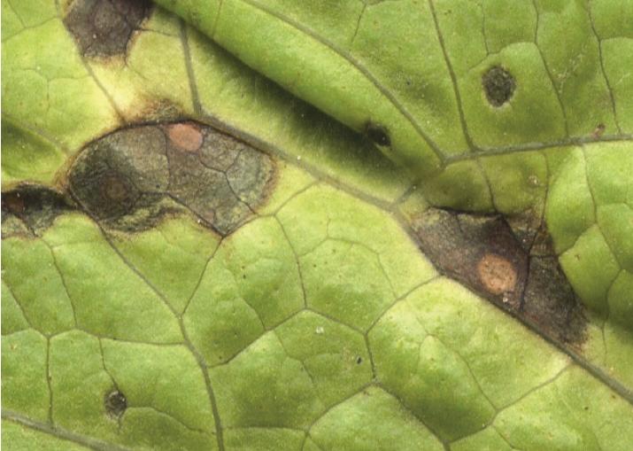 cercosporiose alface