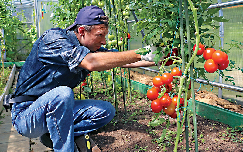 tomate em hidroponia