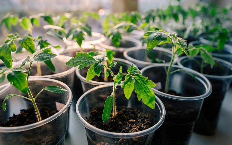 germinar sementes hidroponia