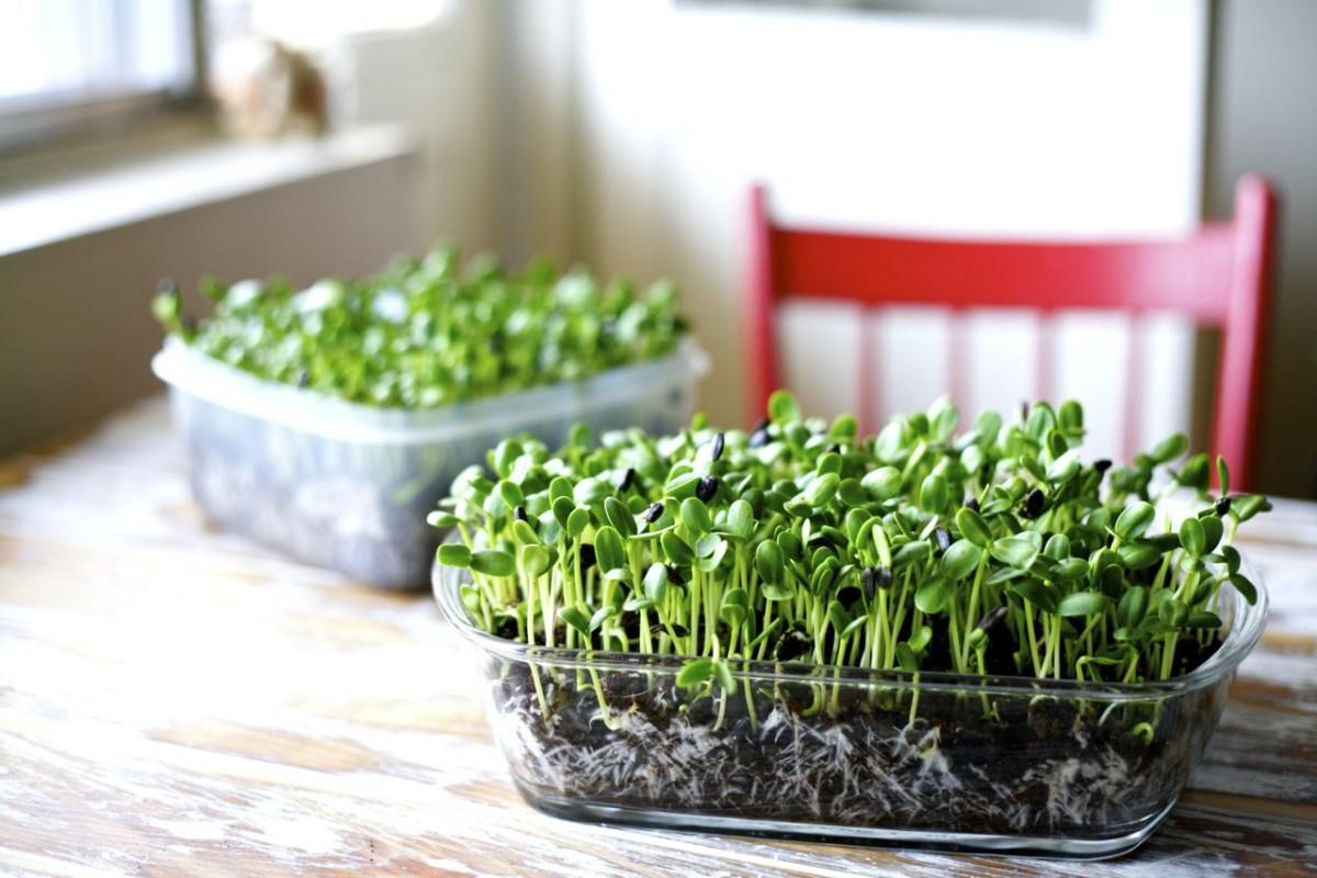 Benefícios dos Microgreens e como cultivar