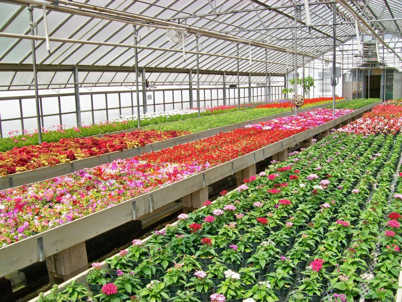 Cultivar Flores em Hidroponia