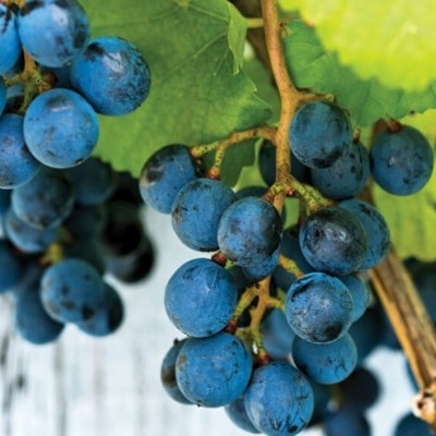 Plantar uvas em Hidroponia