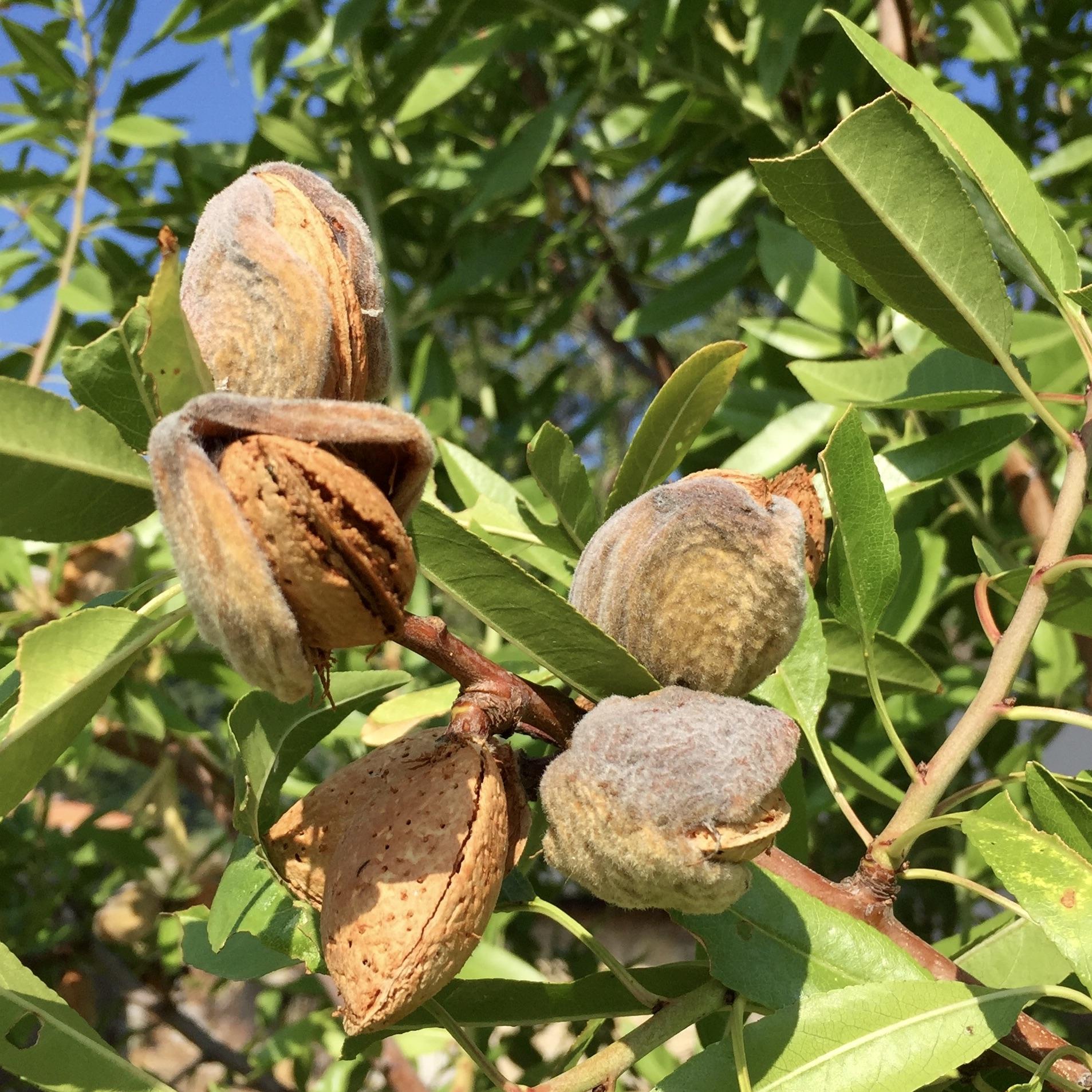 Óleo vegetal Prunus amygdalus dulcis 125 mL