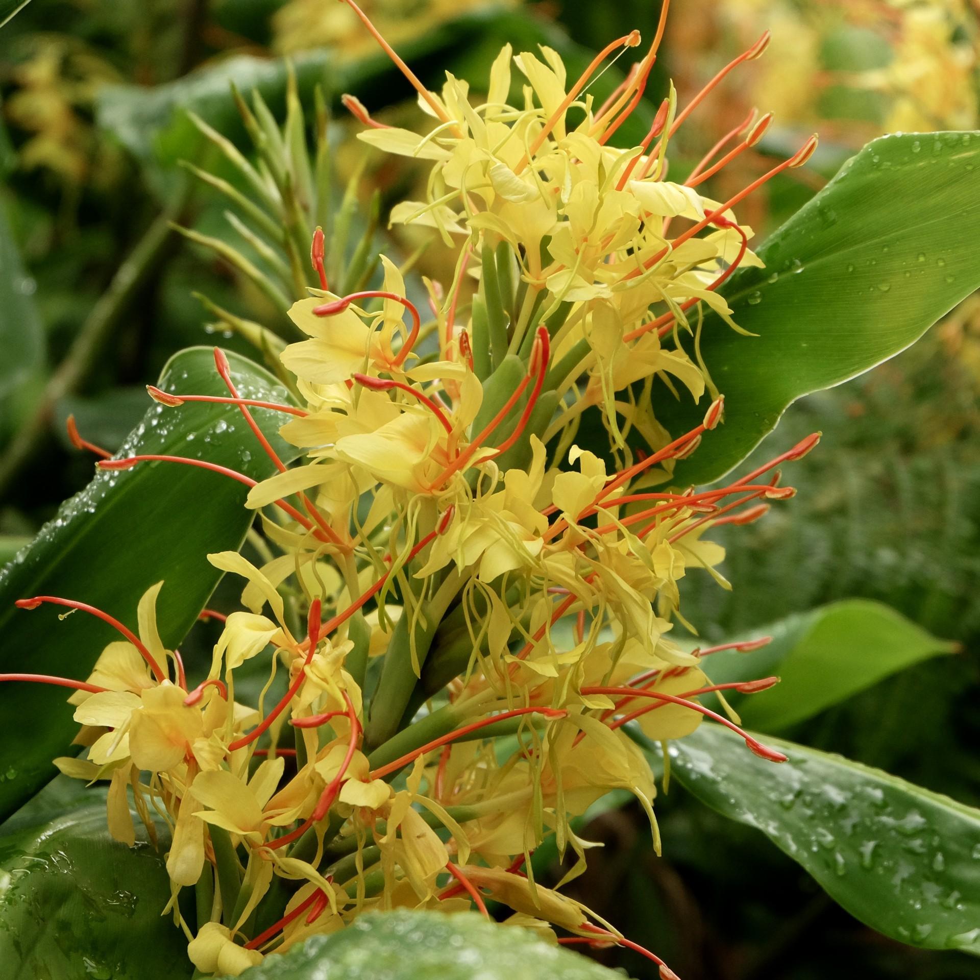 Óleo essencial Hedychium gardnerianum 5 mL