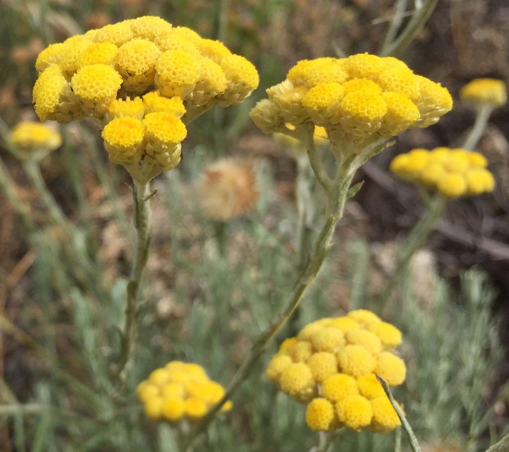 Hidrolato Helichrysum stoechas 1Litro