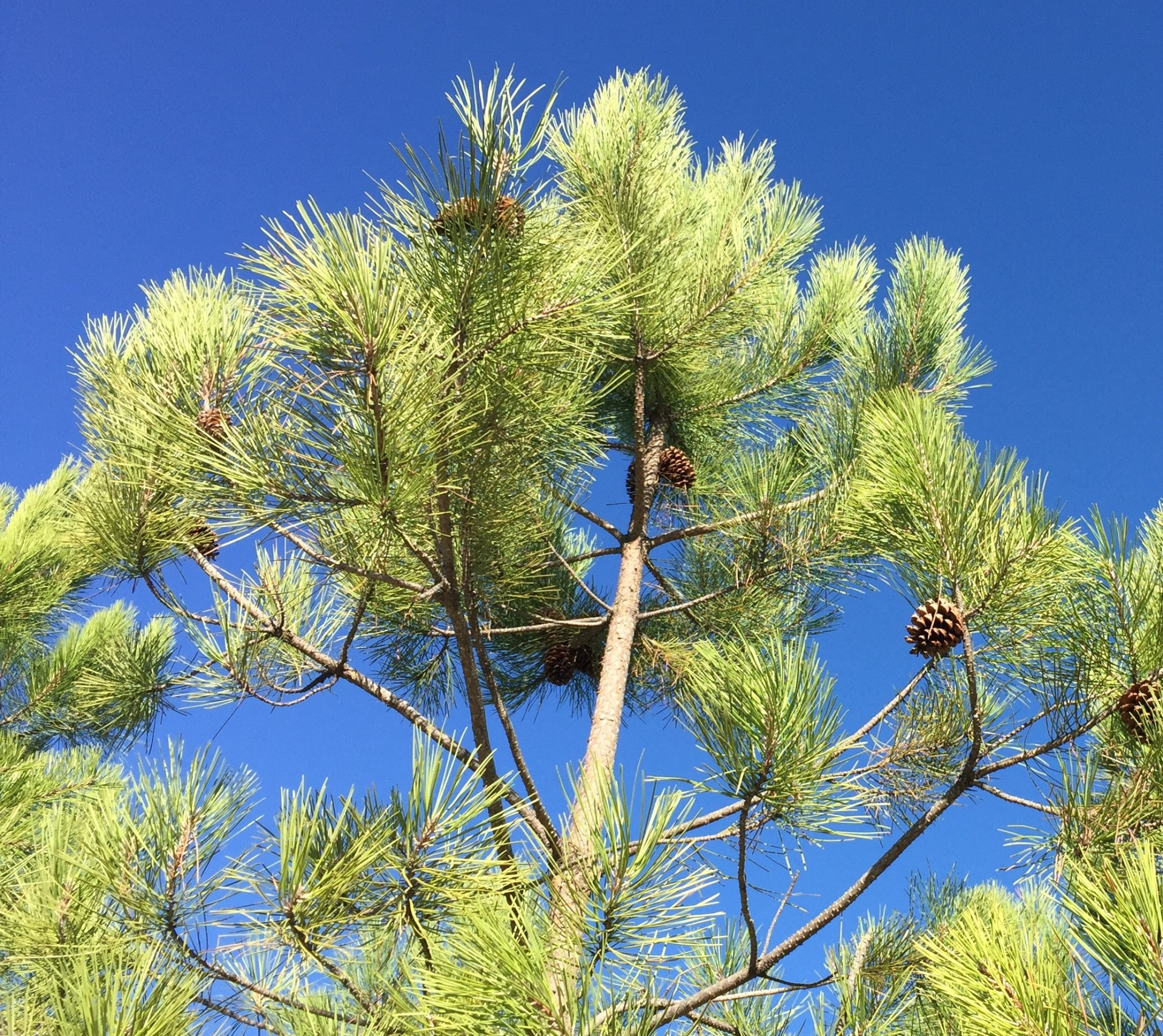 Óleo essencial Pinus pinaster 5 mL