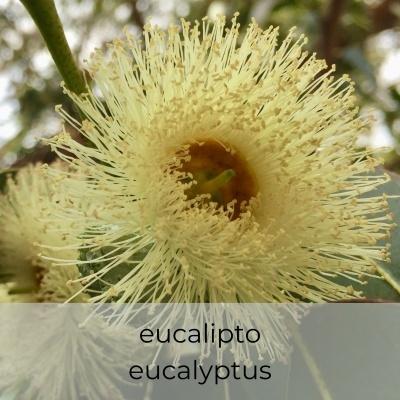 Hidrosol Eucalyptus globulus 1Litro