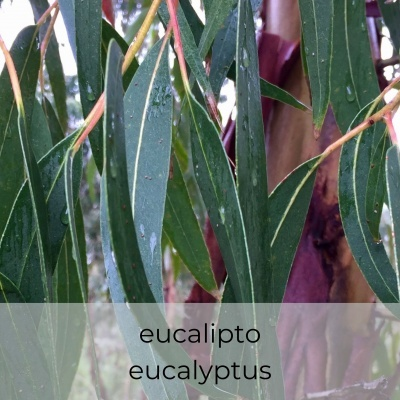 Óleo essencial Eucalyptus globulus 5 mL