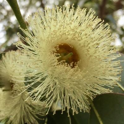 Hidrolato/Hydrosol Eucalyptus globulus 1Liter