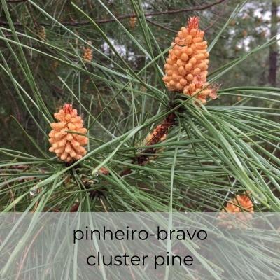 Hidrosol Pinus pinaster 1Litro