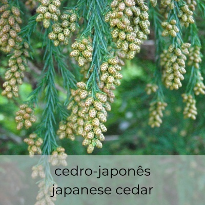 Óleo essencial Cryptomeria japonica 5 mL