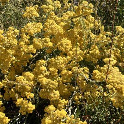 Óleo essencial/Essential oil Helichrysum stoechas 5 mL