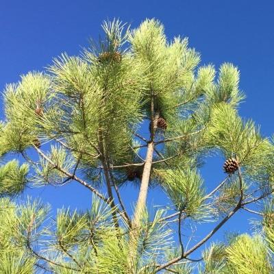Óleo essencial/Essential oil Pinus pinaster 5 mL