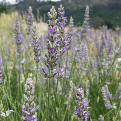 Óleo essencial/Essential oil Lavandula angustifolia 5 mL