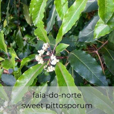 Óleo essencial Pittosporum undulatum 5 mL