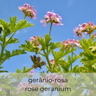 Óleo essencial Pelargonium graveolens 5 mL
