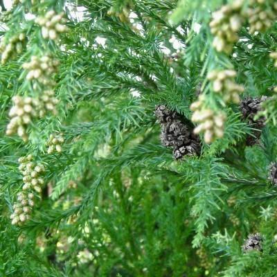 Óleo essencial/Essential oil Cryptomeria japonica 5 mL
