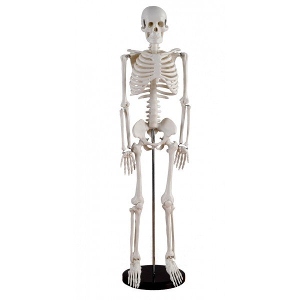 Esquelete Humano - Tamanho Reduzido