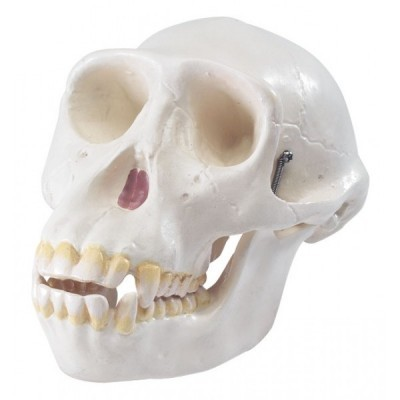 Crânio De Macaco