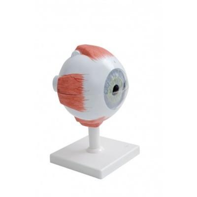Modelo Anatómico do Olho Humano