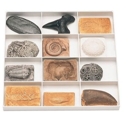 Conjunto de 12 Fósseis