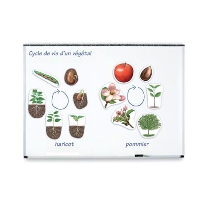 Ciclo da Vida de uma Planta